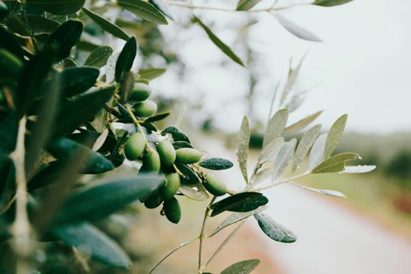 オリーブオイルは便秘解消に効果的な成分(オレイン酸)が豊富!